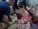 Muslimansko obredno klanje živali brez omamljanja tudi v Sloveniji?