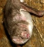 Vampirski netopir