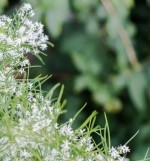 Šatavari (Asparagus Racemosus)