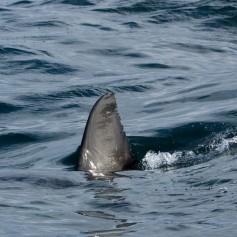 plavut, morski pes