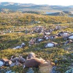 Jelen, Norveška, jeleni