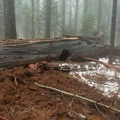 sekvoja drevo tunel padec nevihta