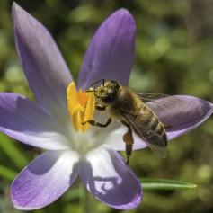 čebela, nabiranje medu