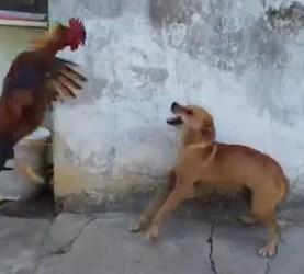 Pes in petelin