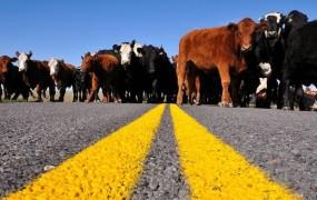 Enajst mrtvih zaradi krav na cesti
