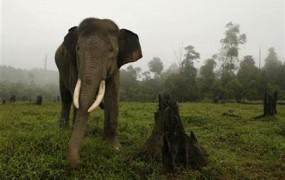Kava iz slonjih iztrebkov nova kofeinska specialiteta