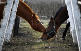 V Španiji zasegli tono »konjskih« hamburgerjev