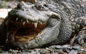 Na avstrijskem Koroškem iščejo krokodila v Dravi