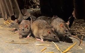 Indijske podgane popile več tisoč litrov zaseženega alkohola