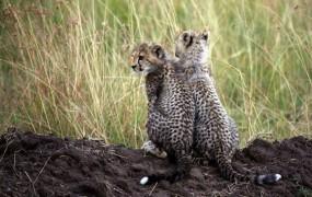 Mlada geparda ušla iz živalskega vrta