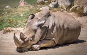 Poginil eden od zadnjih šestih severnih belih nosorogov