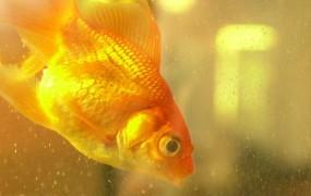 Za zdravljenje zaprte zlate ribice plačal kar 300 funtov