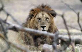 Lev ubil čuvaja v živalskem vrtu