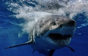 Morski pes v Egiptu ubil nemškega turista