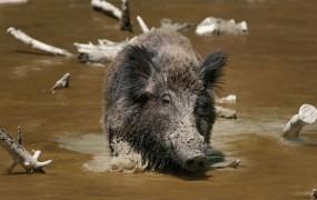 Divja svinja terorizirala nakupovalno središče