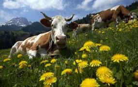 Švicarska vojska kradla francosko vodo, da je napojila krave