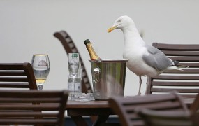 Tatinski galebi terorizirajo britanske turiste