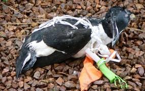 Odpadna plastika vse bolj ogroža populacijo morskih ptic