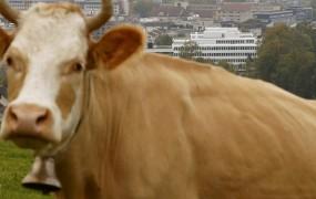 Francozu na avto padla pol tone težka krava