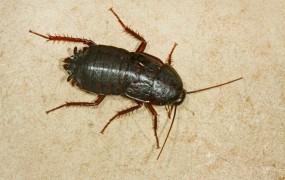 Srhljivo: Indijki so iz nosu potegnili ščurka