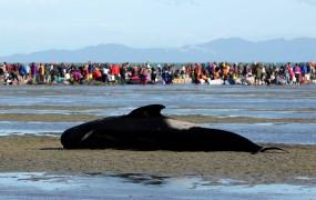 Množičen pogin kitov na obali Nove Zelandije: nasedlo jih je še 200