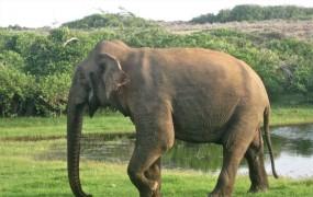 Ker bi bila ločitev od družine prekruta, bo slonica ostala na Šrilanki