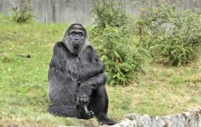 Gorila praznovala 60. rojstni dan, za darilo dobila banane