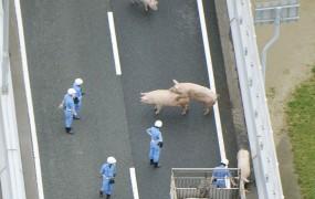FOTO: Policija je na avtocesti lovila prašiče