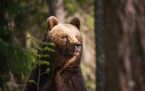 Preplah pod Peco: na gori je medved raztrgal že sedem ovc