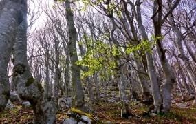 Slovenski bukovi gozdovi uvrščeni na seznam svetovne dediščine Unesca