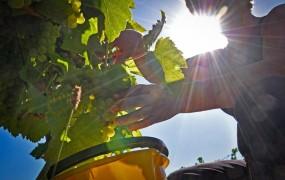 Zaradi suše se bo trgatev ponekod začela že avgusta