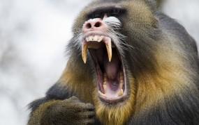 Panika v pariškem živalskem vrtu: iz ograd pobegnilo kar 50 pavijanov