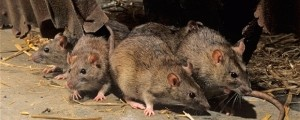 podgane