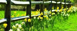 Sončno rumene ali snežno bele, sončno, jasno, travnik, ograja, rože