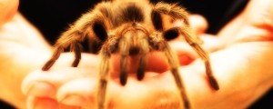 tarantela, pajek, strah, žuželka