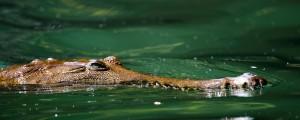Reka Johnstone, krokodil