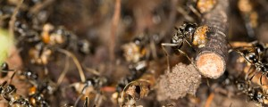 mravlje Megaponera analis napad termiti