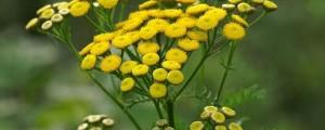 cvetoči vratič