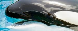 Orka, kit ubijalec
