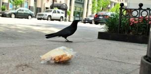 vrana, ptič, sendvič