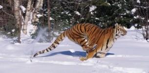 FOTO4 Tiger marek