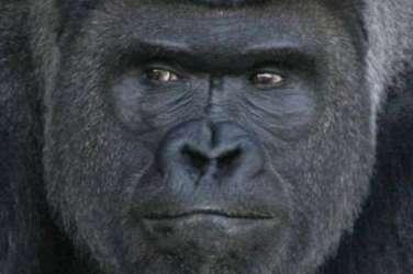 Shabani, gorila 1