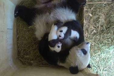 panda mladiči Dunaj živalski vrt