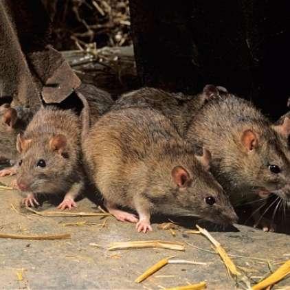 Podgane imajo v treh letih do pol milijarde potomcev