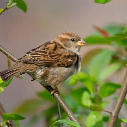 Spretna, pretkana in pogumna živalca: Mali vrabec je velik bojevnik