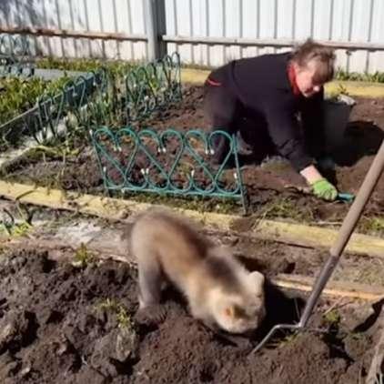 Vrtnarjenje z medvedkom: nič nenavadnega v Rusiji