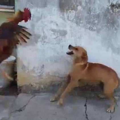 VIDEO: Pes napadel petelina, a mu je bilo hitro žal