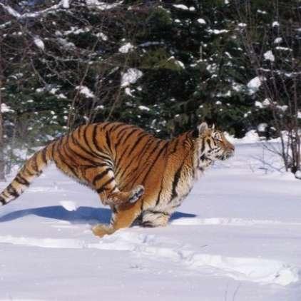 Marek je mislil, da je sibirski tiger
