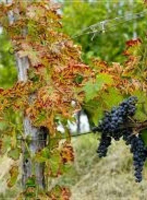 Ohranimo stare primorske vinske sorte