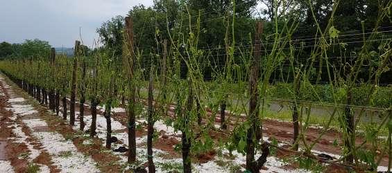 Toča je opustošila vinograde